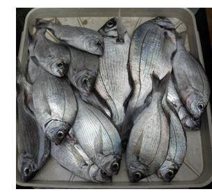 Pêche dorades